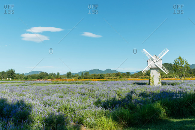 Beautiful landscape with a windmill in a field of lavender