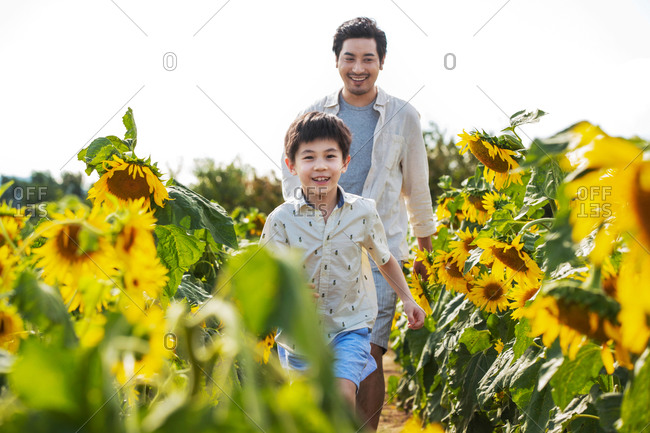 Young Asian boy walking in a field of sunflowers with his father