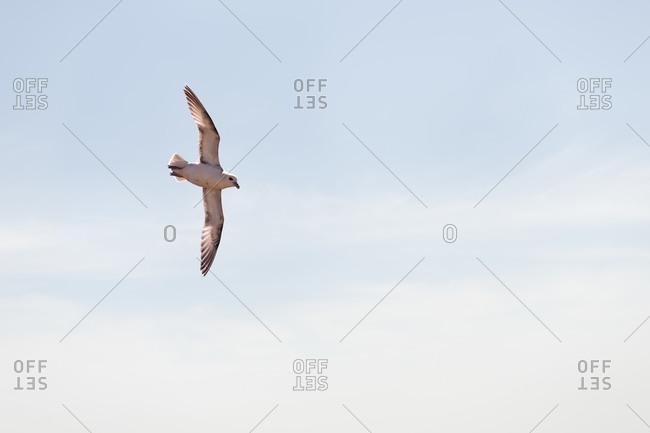 Fulmar flying in sky at Pembrokeshire- Wales- UK