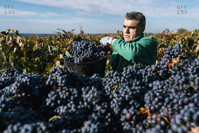 Man pouring black grapes into trailer in vineyard