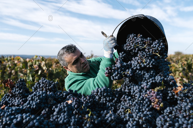 Mature male farmer pouring black grapes into trailer in vineyard