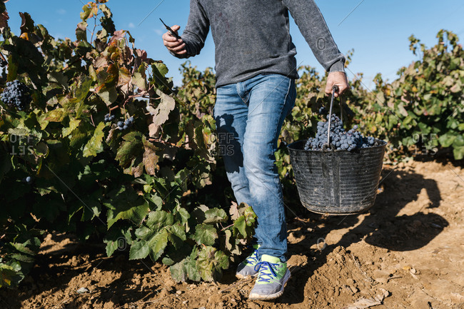 Mature man carrying bucket with black grapes in harvest