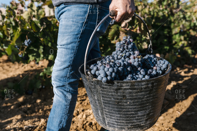 Man carrying bucket with black grapes while walking in harvest