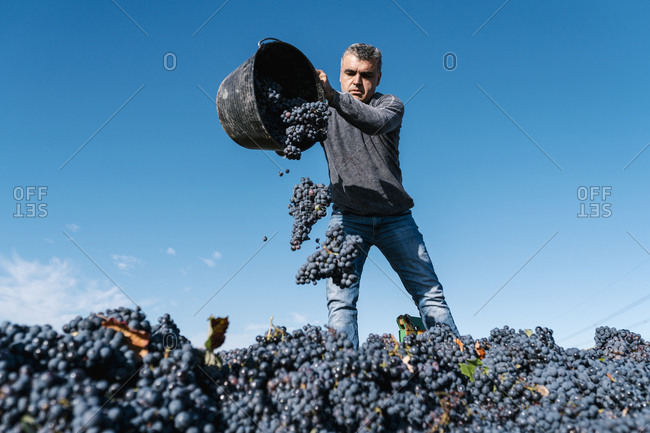 Man pouring black grapes into trailer against sky in vineyard
