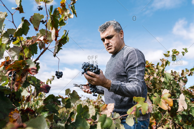 Mature man harvesting black grapes in farm