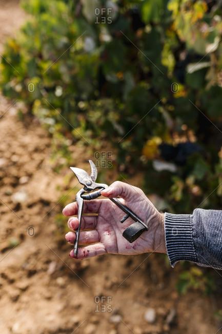 Man's hand holding scissor to harvest