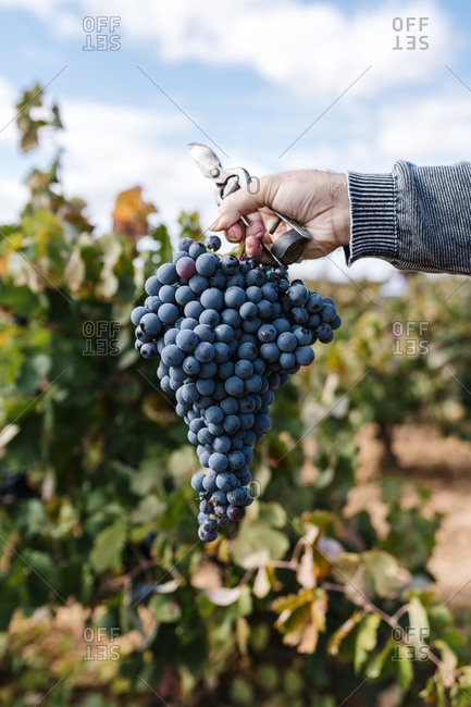 Mature man's hand holding bunch of grapes from harvest