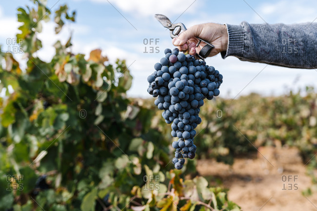 Male farmer's hand holding bunch of grapes and scissor in farm