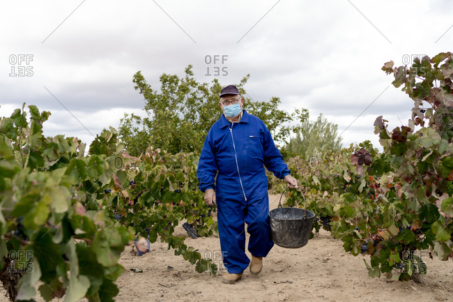 Senior man with mask carrying bucket of black grapes while walking in vineyard