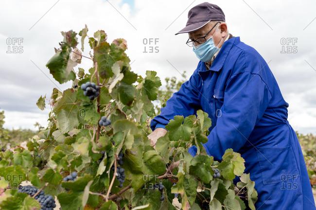 Elderly man harvesting black grapes in farm during COVID-19