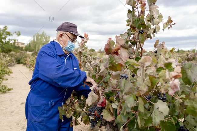 Senior male farmer harvesting black grapes in farm during pandemic