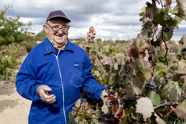 Smiling elderly man harvesting black grapes in vineyard