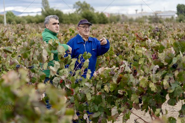 Male farmers standing amidst grape farm