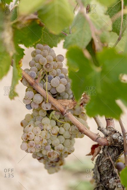 Bunch of white grapes in vineyard