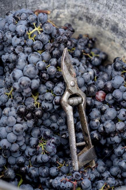 Black grapes in bucket with harvesting scissor