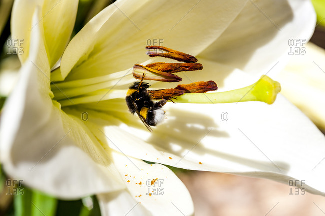 Bee feeding on pollen of white blooming flower