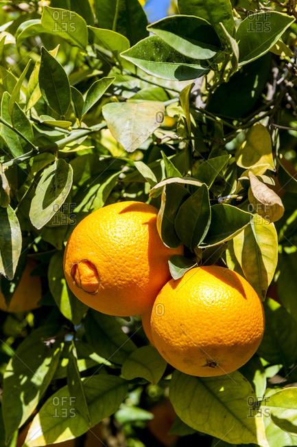 Ripe oranges growing on orange tree