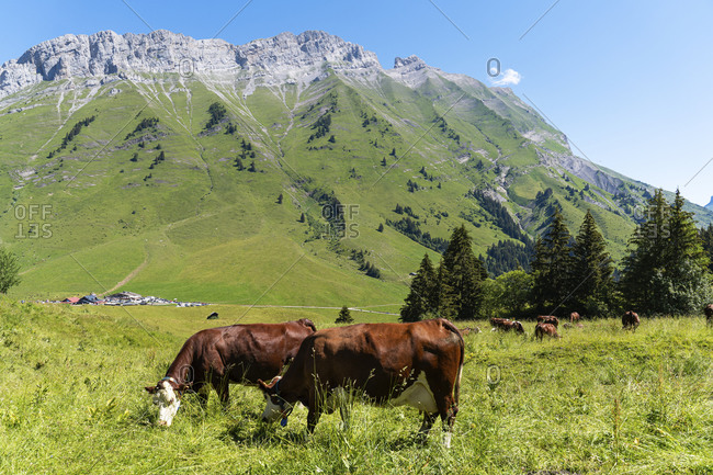 Group of cow grazing in meadow on sunny day at Col Des Aravis- Haute-savoie- France