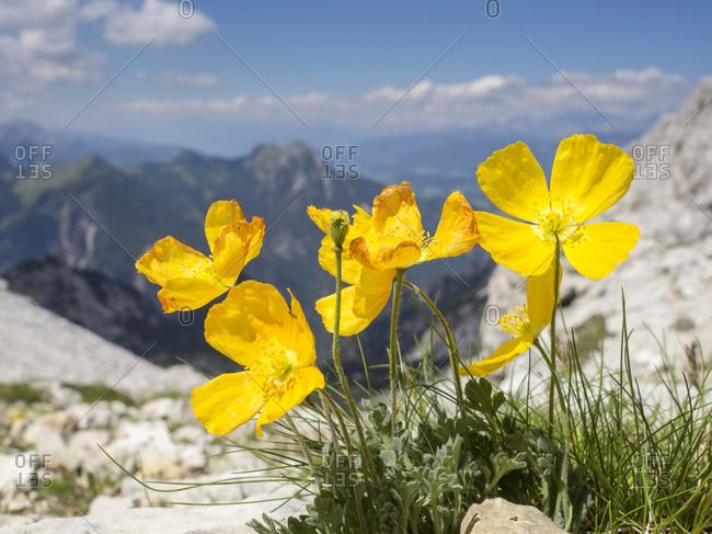 Yellow alpine poppies (Papaver alpinum) in bloom