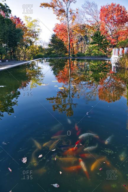 Koi pond in autumn park