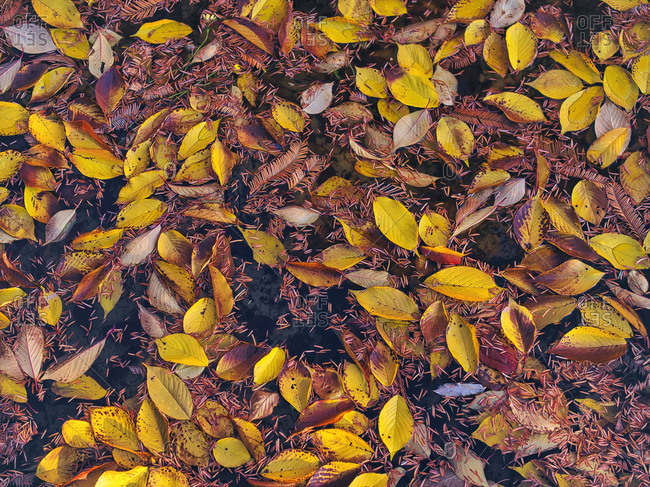 Fallen autumn leaves floating in pond