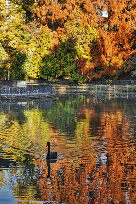 Russia- Krasnodar Krai- Sochi- Swan swimming in Dendrarium park pond during autumn