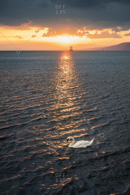 Mute swan (Cygnus olor) on lake at sunset