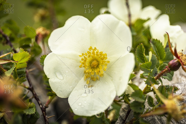 White wild rose with dew drops