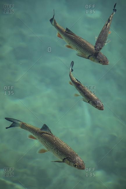 European chubs (Squalius cephalus) in turquoise lake