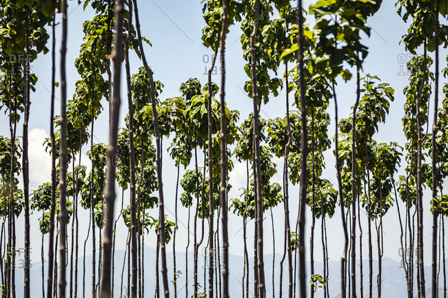 Young trees growing in plantation