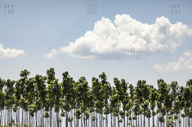 Cloud above young trees growing in plantation
