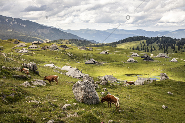 Alpine settlement with shepherds houses and cows