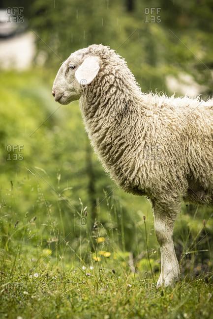 Sheep in field looking sheepish