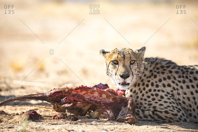 A Cheetah feeds on a fresh kill on the desert plains in Southern Namibia