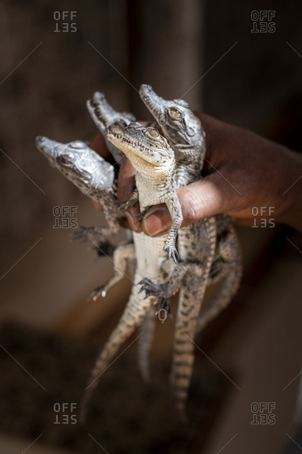 Baby Crocodiles called Hatchlings held clutched in a fist caught and poached from the Nile river held in captivity for sale on the black market