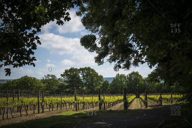 View of a vineyard in England through tall trees