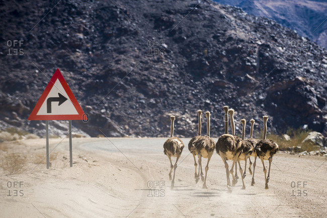 Ostriches run past a sign on a dusty road in southern Namibia near Ai-Ais