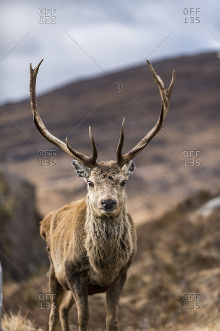 A wild Red Deer with big antlers in the Scottish Highlands in Torridon along The Cape Wrath Trail