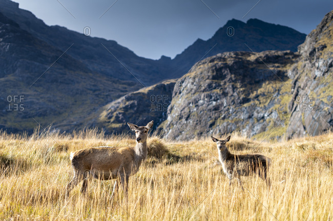A Deer and Fawn on the Isle of Skye near Loch Coruisk with the Cuillins in the distance