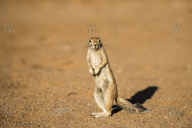 An African Ground Squirrel looks straight to camera