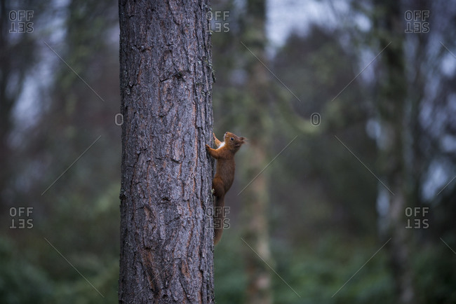 A Red Squirrel climbing a pine tree in the Cairngorms National Park