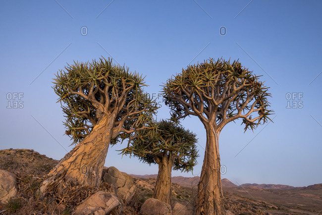 Quiver Trees near Springbok in South Africa. Also known as Kokerboom and Aloe Dichotoma.