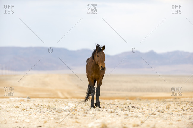 A wild horse on the dusty plains near Aus in southern Namibia. Between 90 - 150 wild horses roam free in this area