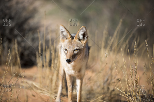 A Black back jackal in the Kgalagadi Transfrontier Park in South Africa