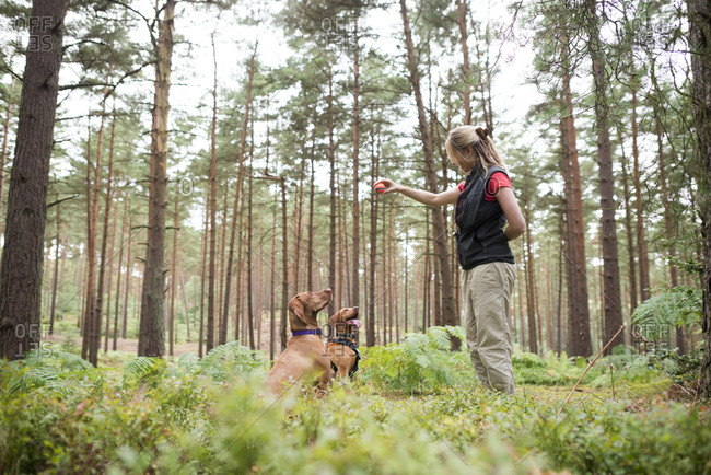 A woman takes her Vizsla dogs for a walk in Bourne woods near Farnham