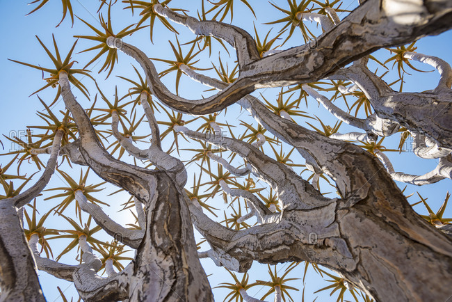 A Quiver Tree in Namibia gets its name from the San people who used the tubular branches to form quivers for their arrows