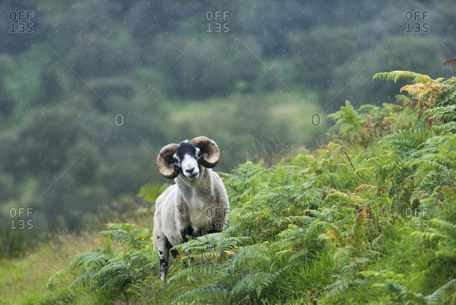 A Highland sheep in the Cairngorms National Park near Glentruim in Scotland