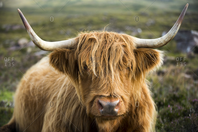A Highland cow on the Applecross peninsula in Scotland