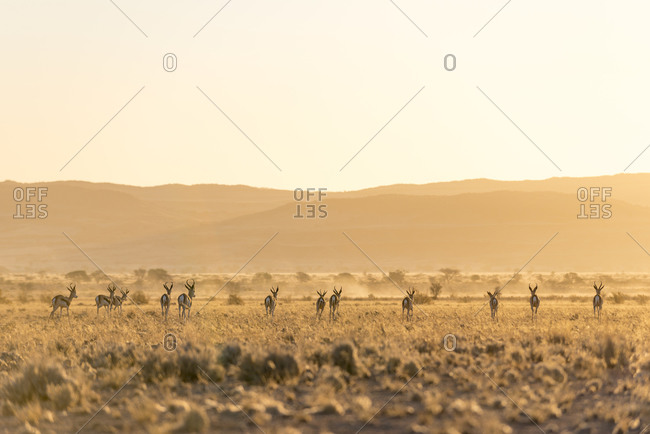 Springboks on the plains in Southern Namibia