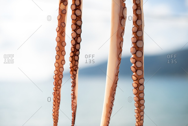 Octopus tentacles hanging up to dry on the Mani peninsula in the Peloponnese in Greece